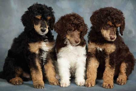 Standard Poodles Colors Goldenacresdogscom