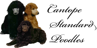 Cantope Standard Poodles