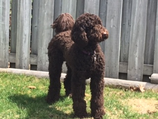 Testimonials Cantope Standard Poodles